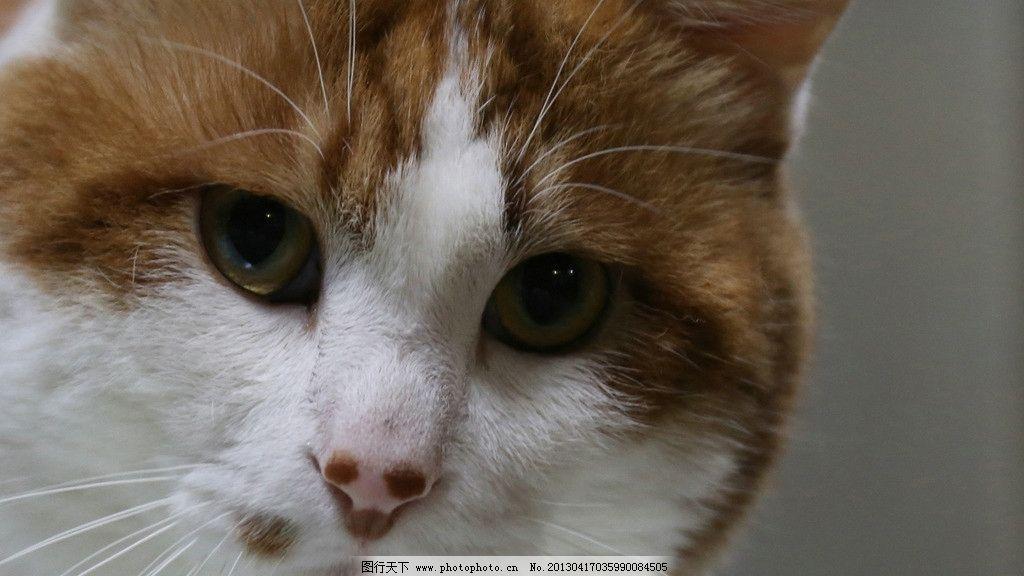 宠物 猫 宠物猫 黄猫 猫特写 家猫 家禽家畜 生物世界 摄影 72dpi jpg