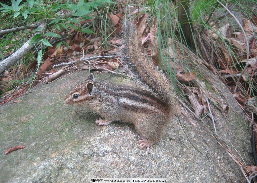 松鼠 条纹松鼠 山鼠 小动物 可爱生灵 野生动物 生物世界 摄影 180dpi