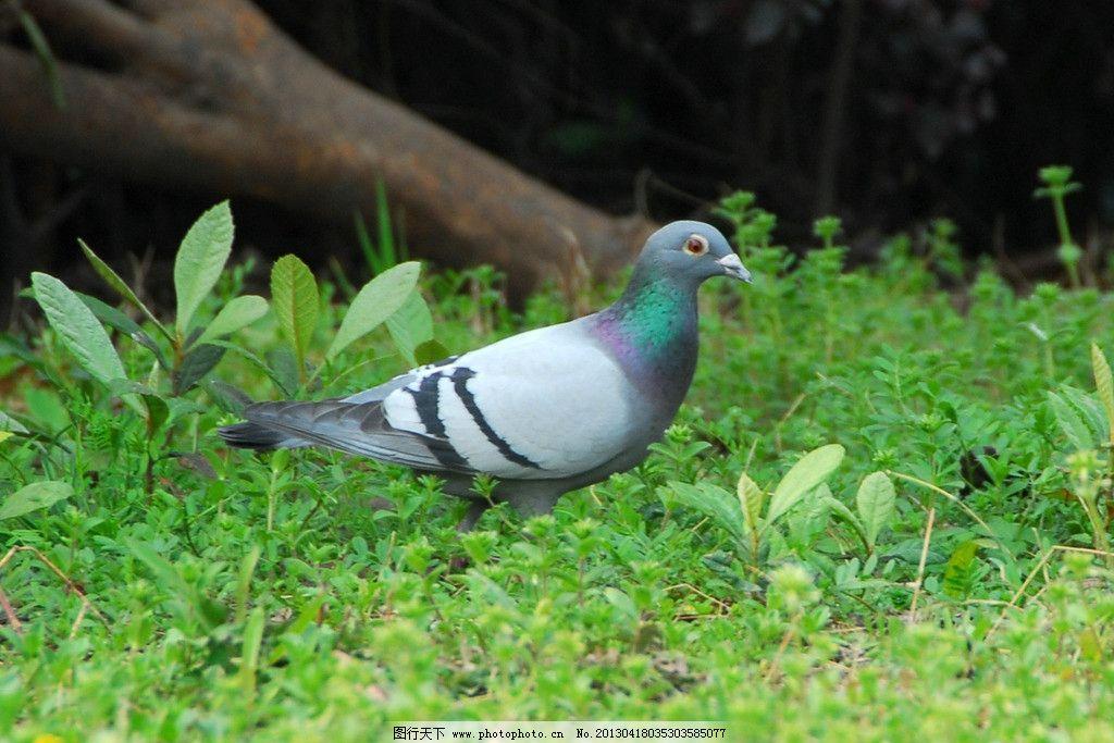 鸽子 小动物 生物 彩色 大自然 鸟类 生物世界 摄影