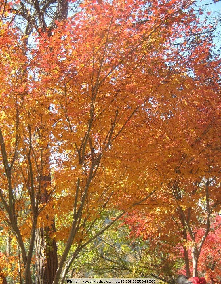 崂山枫树 崂山 秋季 山 树林 青岛户外 枫树 枫叶 树木树叶 生物世界