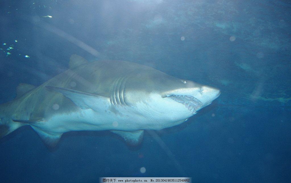 鲨鱼 海底世界 海底生物 鱼类 海洋之王 动物世界 旅游摄影 摄影