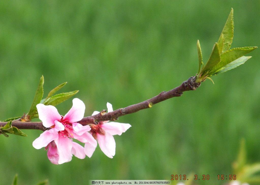 桃花 郊外 春天 桃花源 花草 植物 树枝 发芽 绿叶 树叶 绿色 朦胧 生
