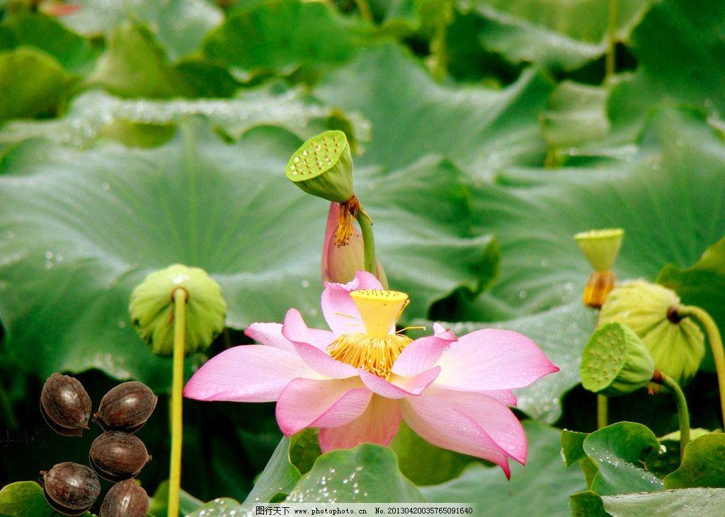 荷花 荷塘 莲藕 公园 夏天 生态公园 荷叶 花草 生物世界 摄影 300dpi