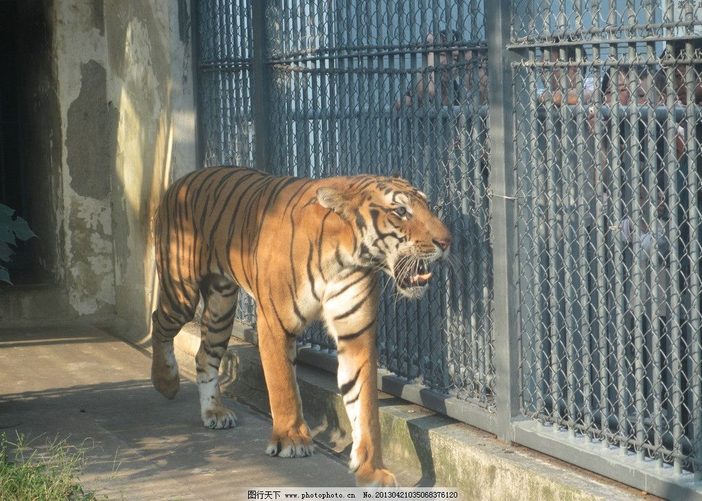 老虎 动物 动物园 摄影 高清