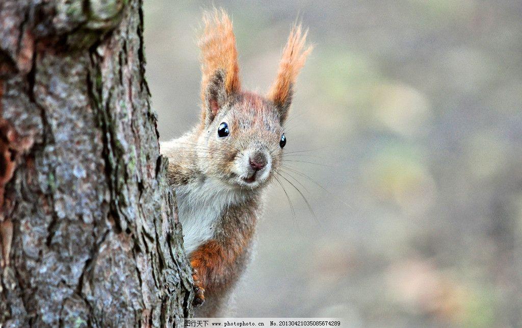松鼠 小动物 可爱 大尾巴 森林生活 野生动物 生物世界 摄影