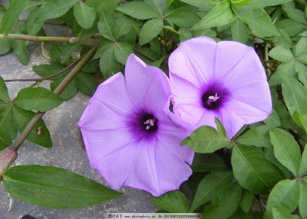 牵牛花 植物 叶子 花朵 绿色 紫色 漂亮 花草 生物世界 摄影 72dpi