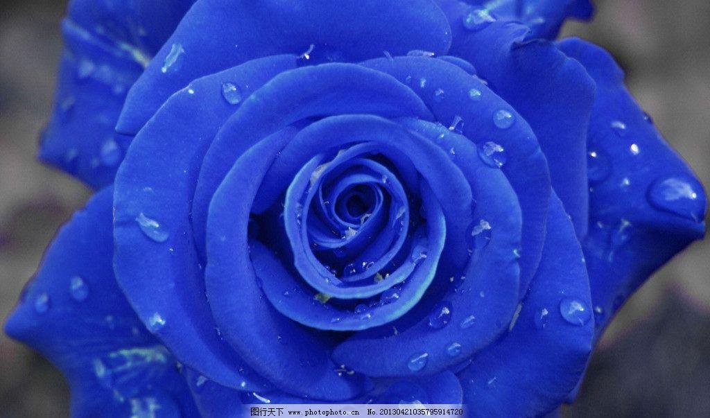 蓝玫瑰 花 玫瑰 玫瑰花 特写 花草 生物世界 摄影 100dpi jpg