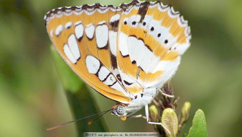 300dpi jpg 翅膀 蝶恋花 动物 动物世界 飞行 风景 蝴蝶 昆虫 蝴蝶