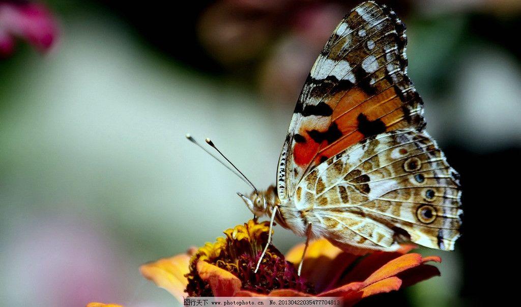 蝴蝶 蝴蝶与花 蝶恋花 昆虫 动物 翅膀 生物世界 动物世界 飞行 风景