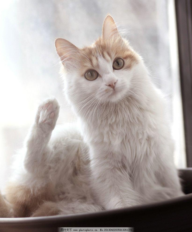 猫咪 敬礼 萌宠 萌猫 奶咖色 家禽家畜 生物世界 摄影 350dpi jpg