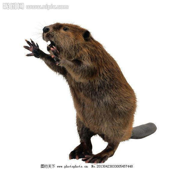 河狸 动物 啮齿动物 中国最大啮齿 高清写真 透明背景 动物星球