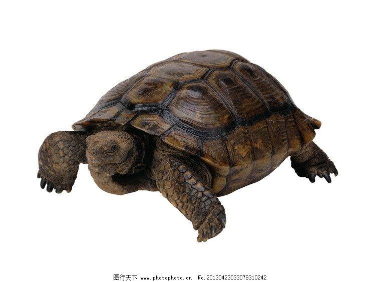 乌龟 龟 长寿动物 爬行动物 高清写真 透明背景 动物星球 psd分层素材