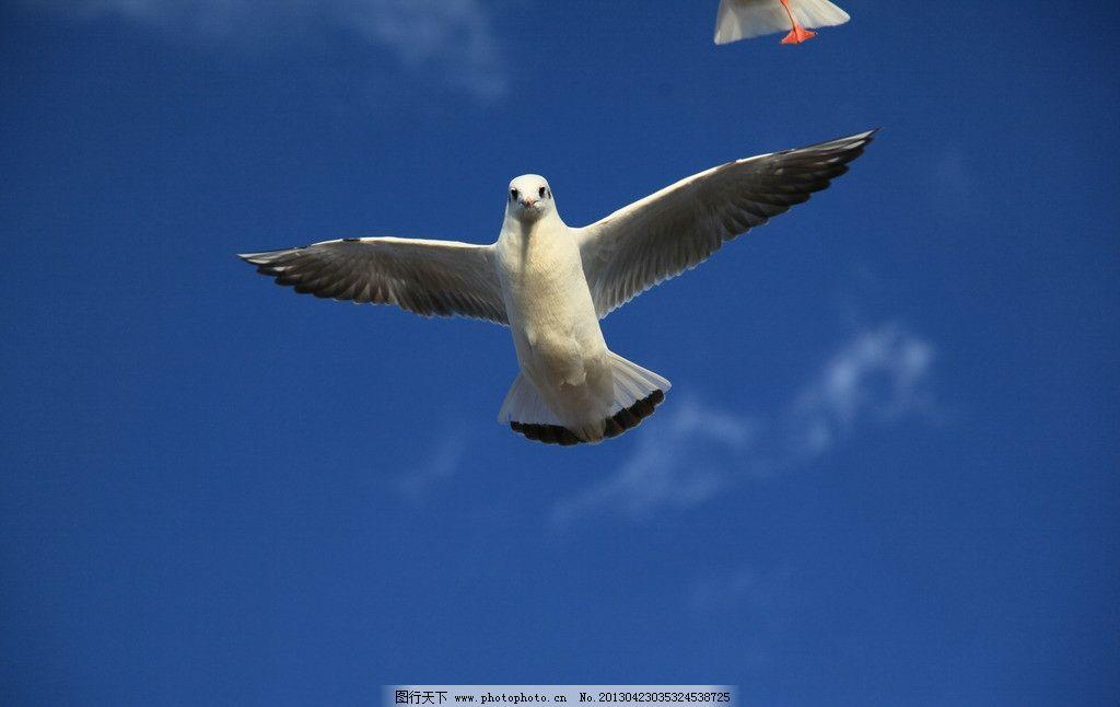 蓝天白云红嘴鸥图片