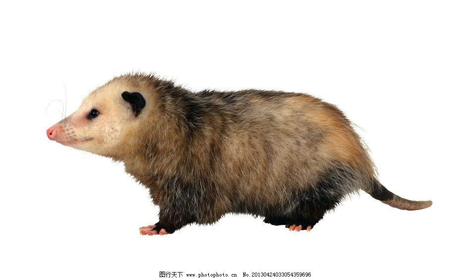 负鼠 动物 哺乳动物 高清写真 透明背景 动物星球 源文件