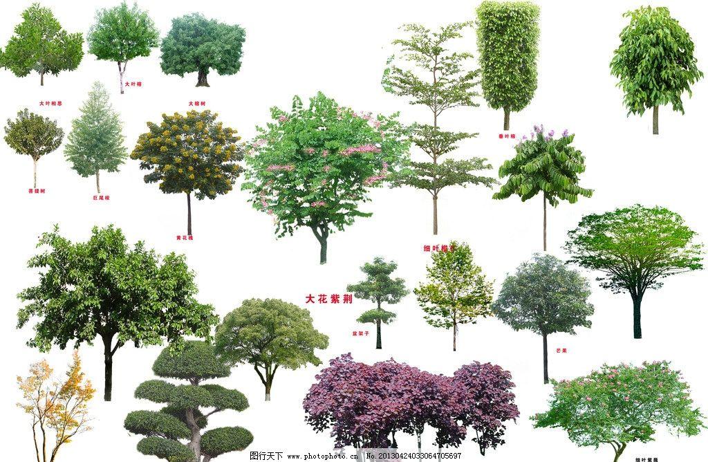树木素材 树木 巨尾桉