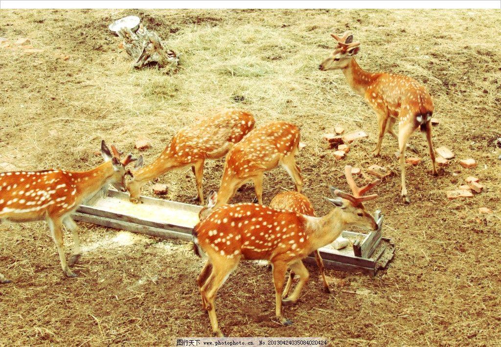 梅花鹿 根河市 木屋度假村 秋天 动物 鹿圈 饲料 槽子 鹿群