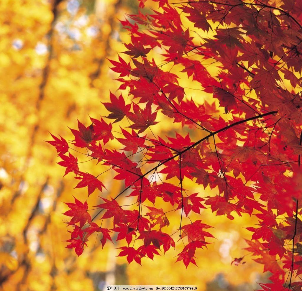 枫叶 风景 自然 秋天 红叶 树木树叶 生物世界 摄影 72dpi jpg