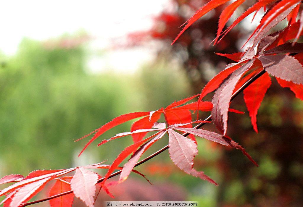 背景 壁纸 枫叶 红枫 绿色 绿叶 树 树叶 植物 桌面 1024_700