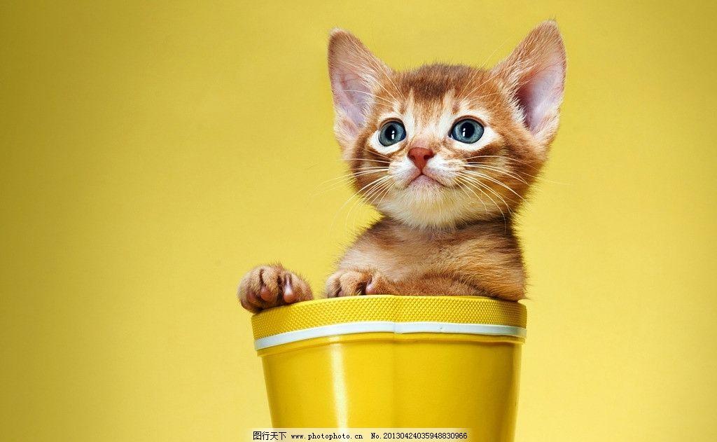 宠物猫 猫咪 喵星人 可爱 精灵 动物 卖萌 小猫 家禽家畜 生物世界