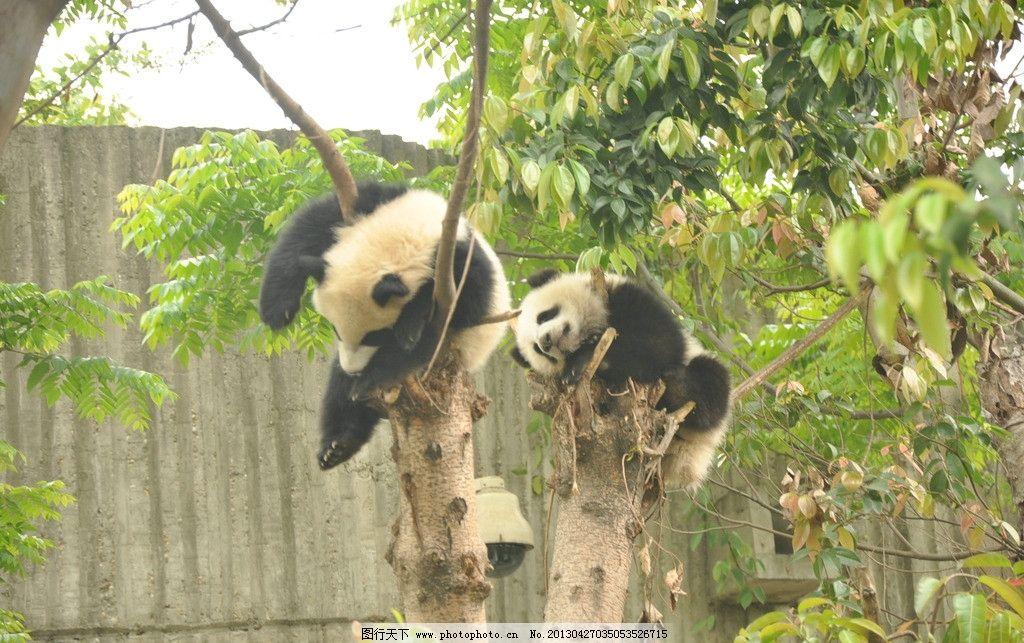 熊猫 可爱 吃货 竹子 成都 野生动物 生物世界 摄影 300dpi jpg