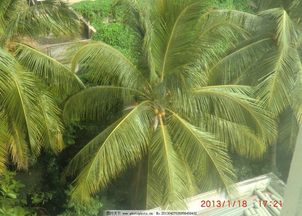 椰子树 印度 椰子 树 春天 树木树叶 生物世界 摄影 72dpi jpg