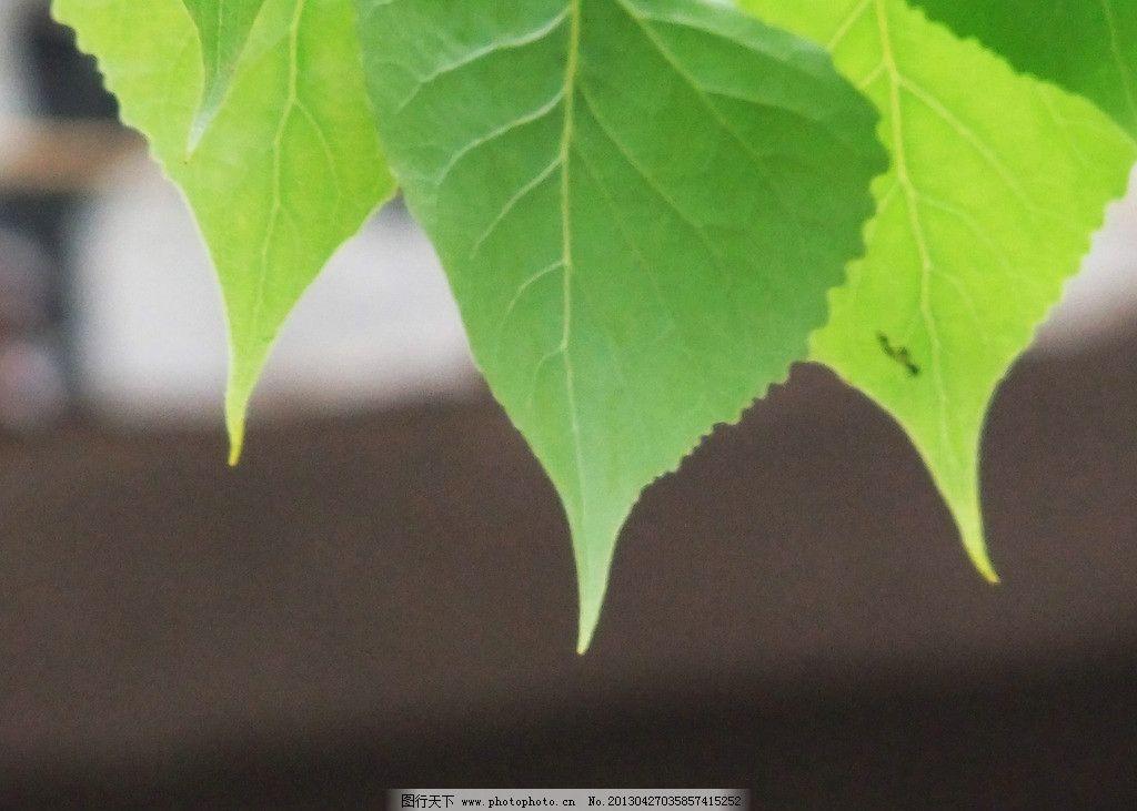 杨树叶图片