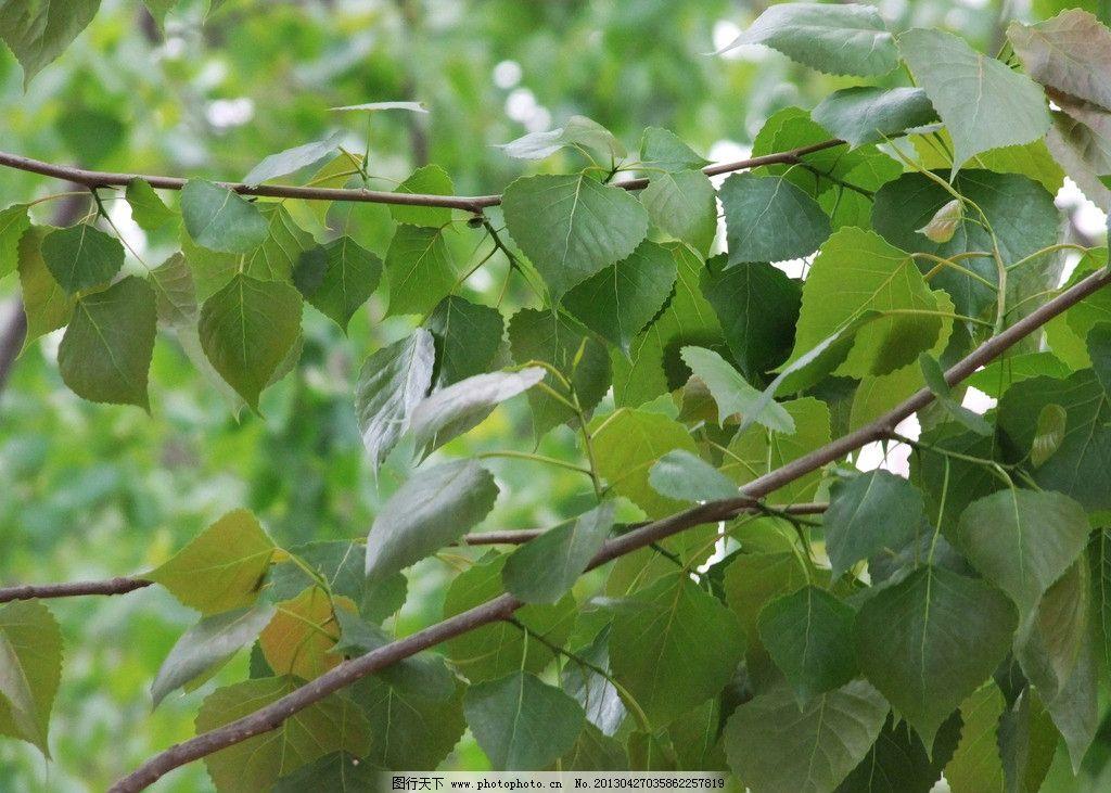杨树绿叶图片