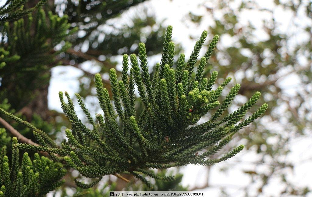 侧柏 绿化 园林 植物 松树 栢树 树木树叶 生物世界 摄影 72dpi jpg
