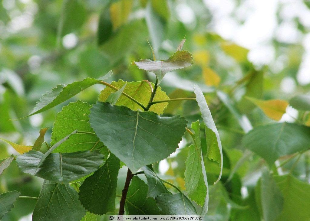 杨树 杨树叶 绿叶 树叶 春天杨树叶 生物世界 树木树叶 摄影 300dpi