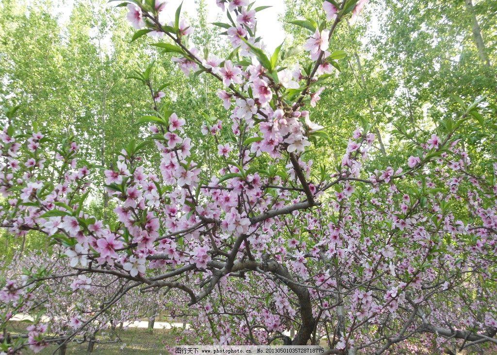 画桃花树简笔画
