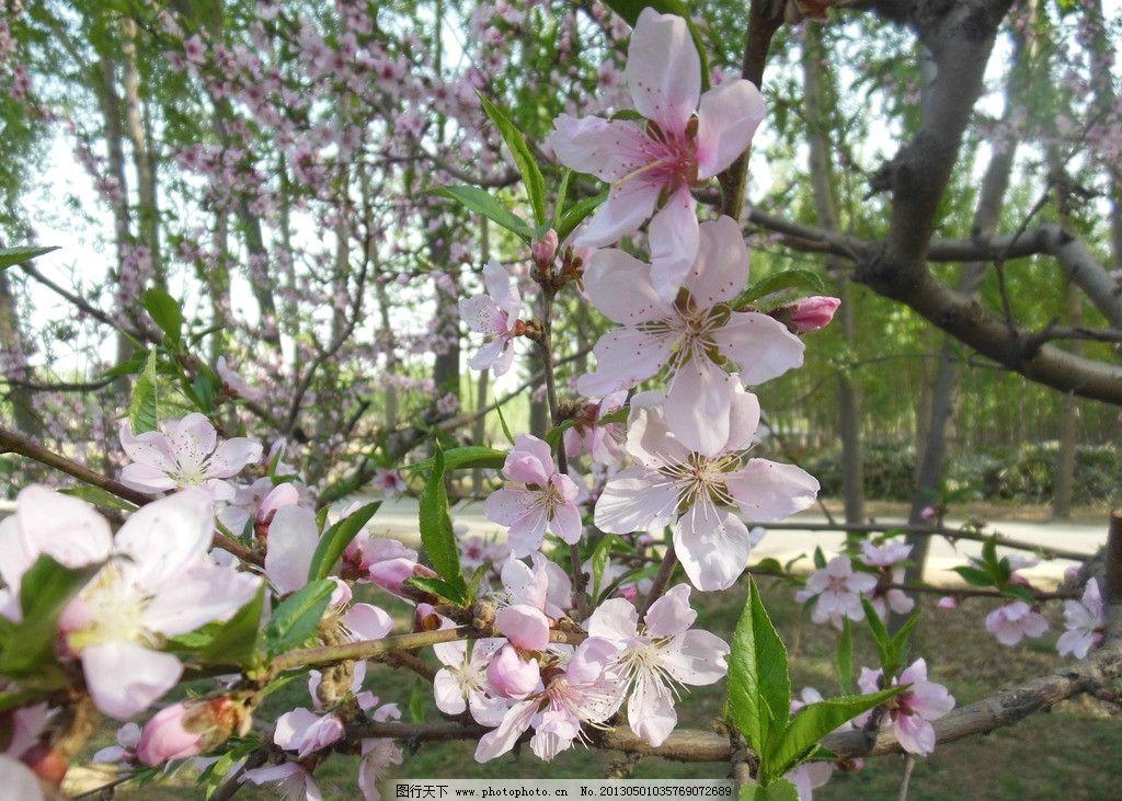 摄影图库 生物世界 花草  桃花 粉色花朵 春天 绿叶 桃树 树干 树枝
