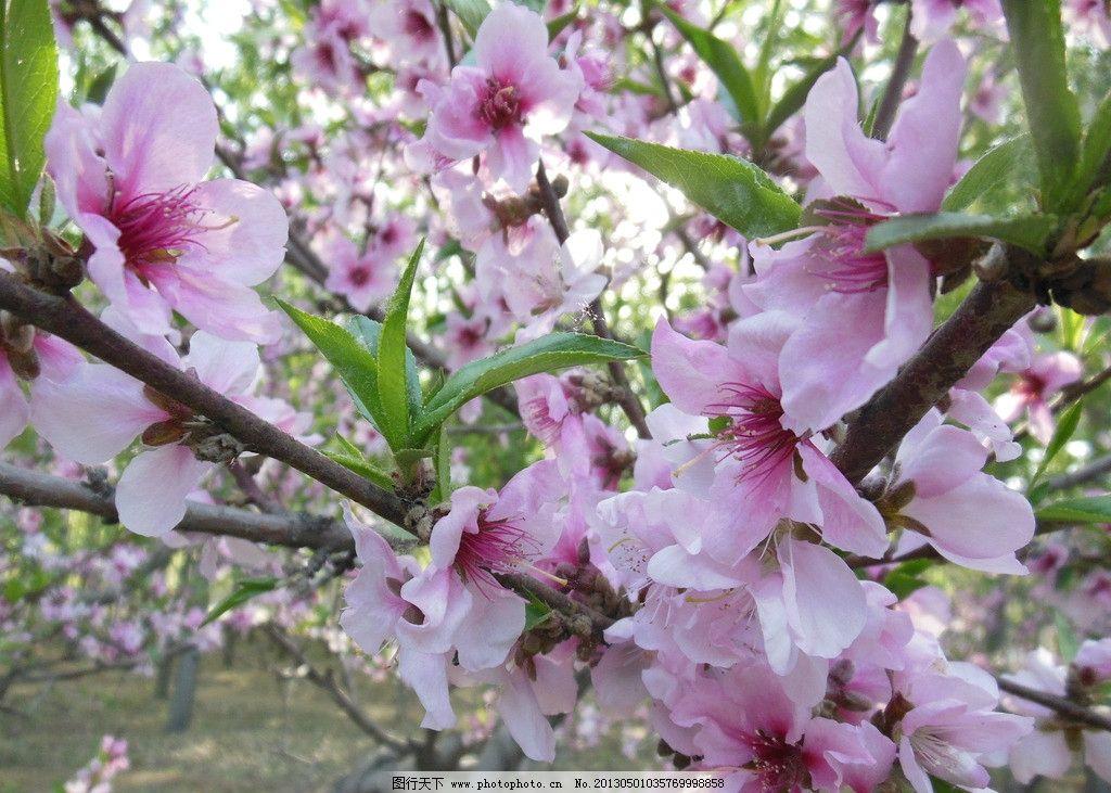 桃花 粉色花朵 春天 绿叶 桃树 树干 树枝 高清图片 摄影