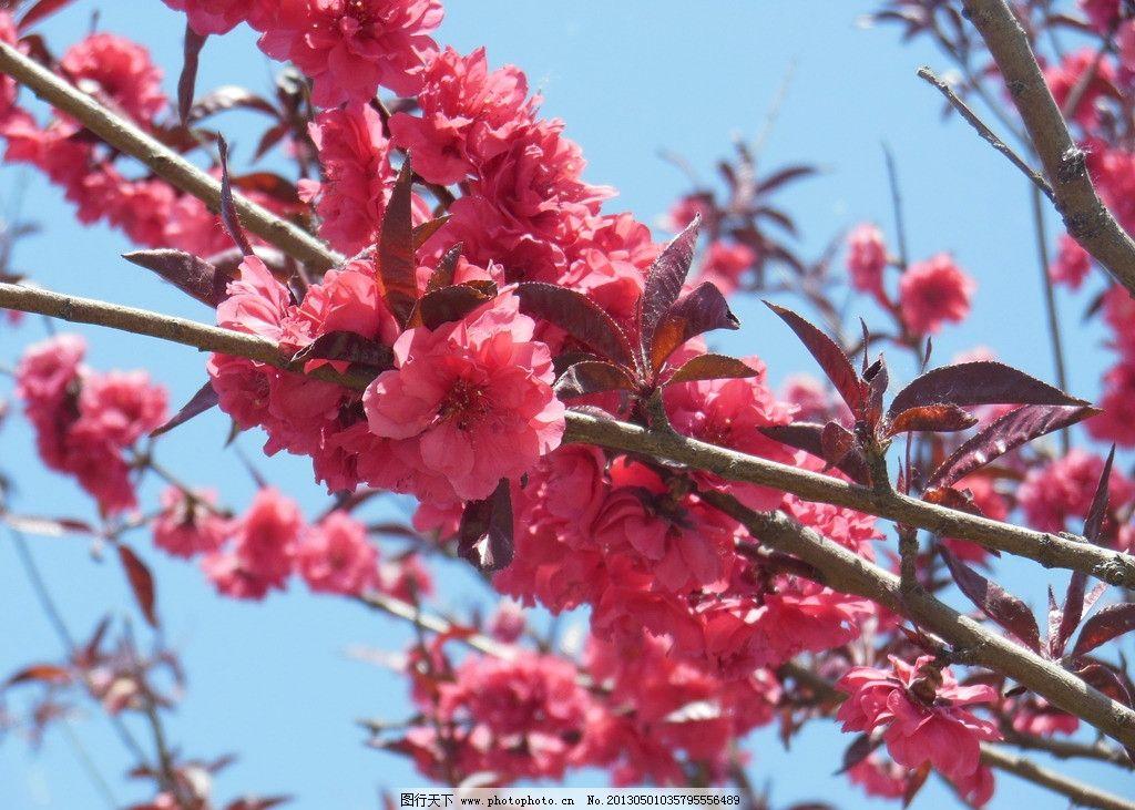 梅花图片,粉色花朵 春天 树枝 一串花 高清图片 花草