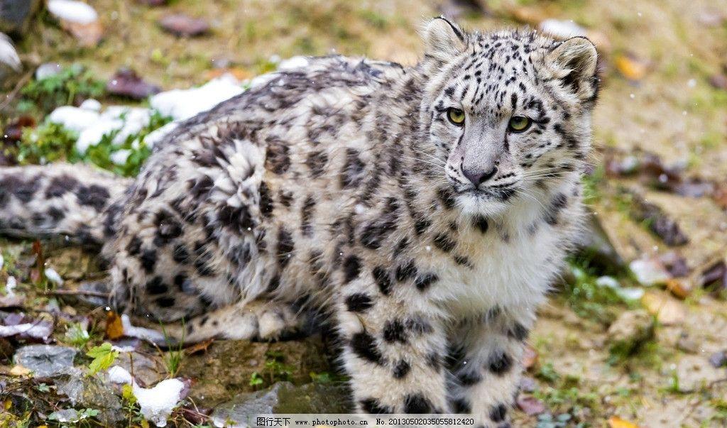 雪豹 豹子 猫科动物 野生动物 动物 猛兽 美丽 生物世界 摄影 72dpi