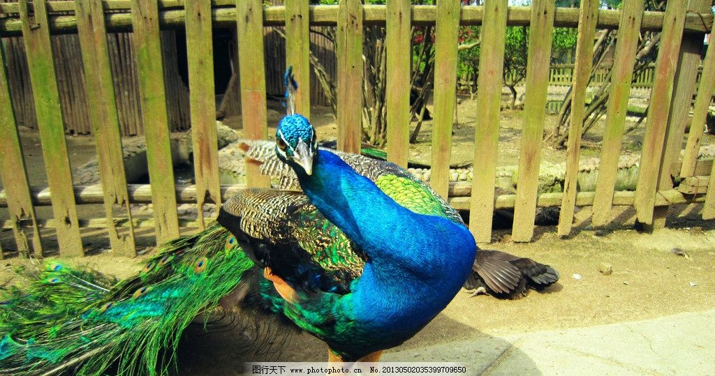 孔雀 湘潭动物园 多彩羽毛 百鸟之王 珍禽异兽其他鸟 护栏 动物房子