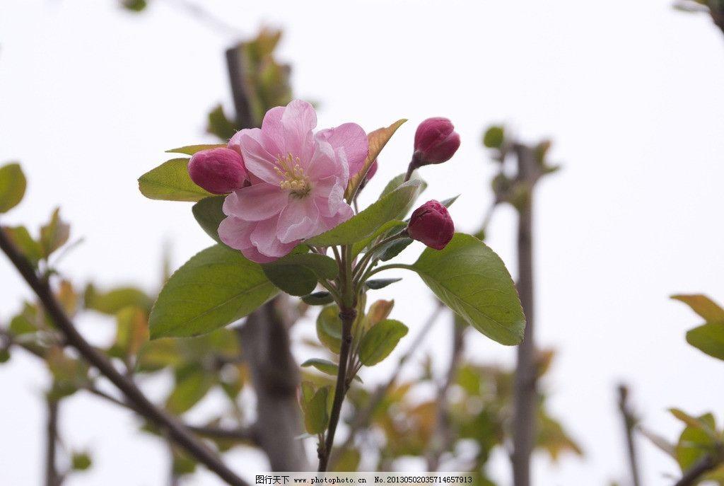 苹果树花 粉色 花朵 苹果