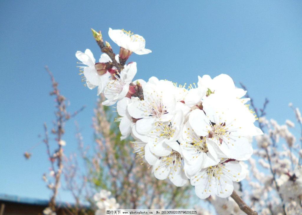杏花 杏树的花 含苞欲放 花骨朵 花草 春天 白色 蓝天 生物世界 摄影