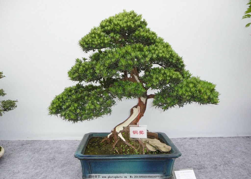 盆栽树木名称图片