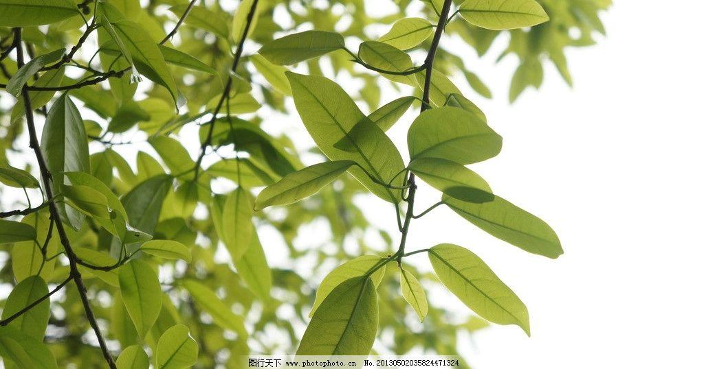 叶子 绿叶 阳光下的叶子 阳光下的树叶 树叶 树木树叶 生物世界 摄影