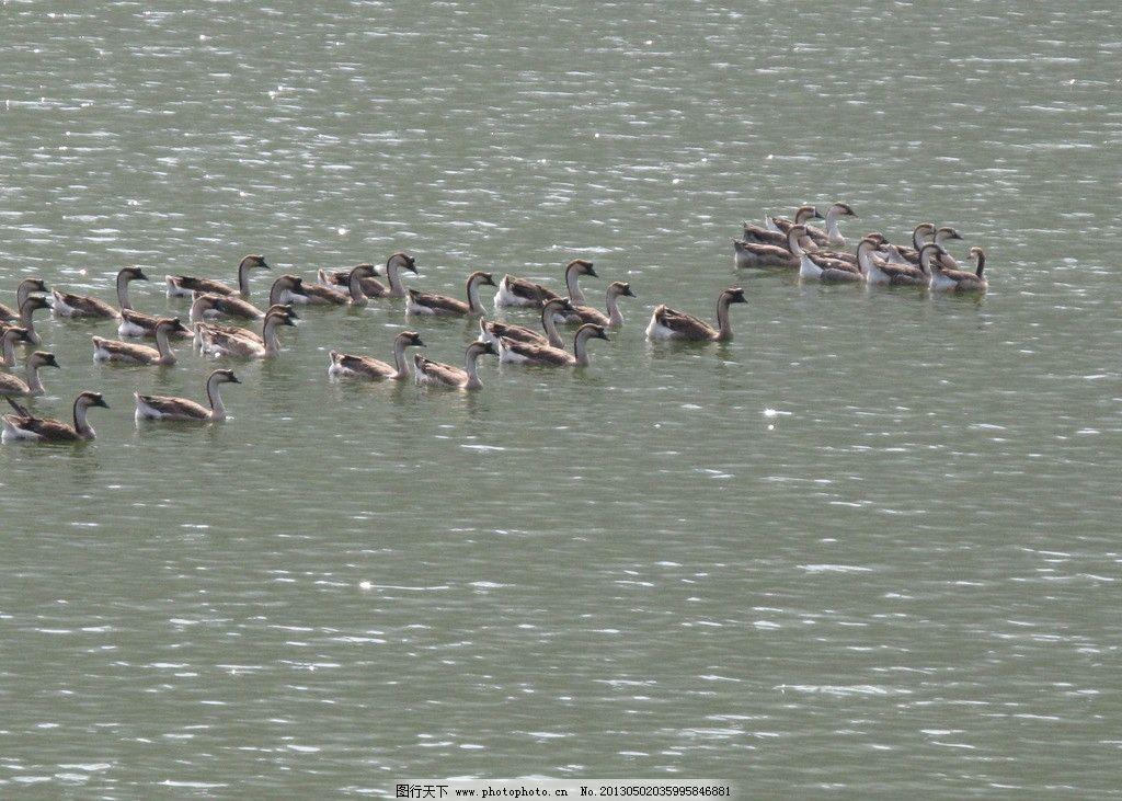 鸭子 鸭子图片素材下载 一群鸭 鸭儿 公鸭 母鸭 家禽家畜 生物世界