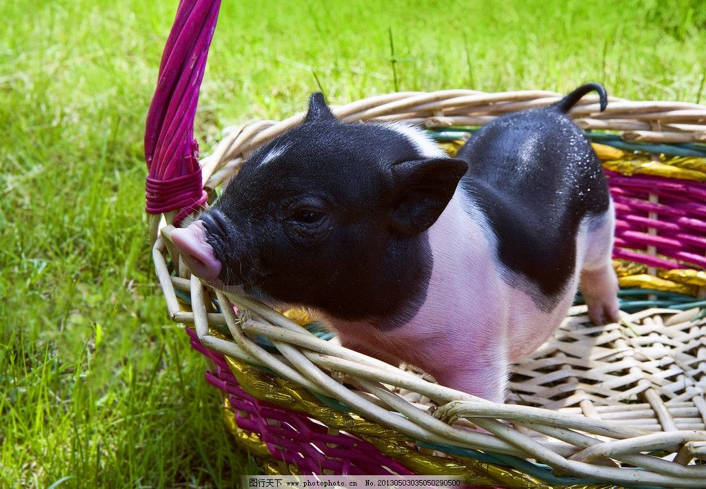 小猪 野生动物