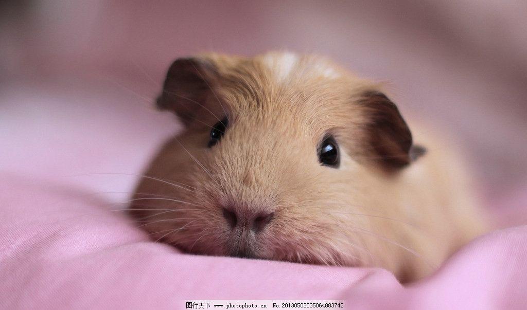 小豚鼠 可爱的鼠图片素材下载 可爱的鼠 鼠 灰白黑色 动物 摄影图库