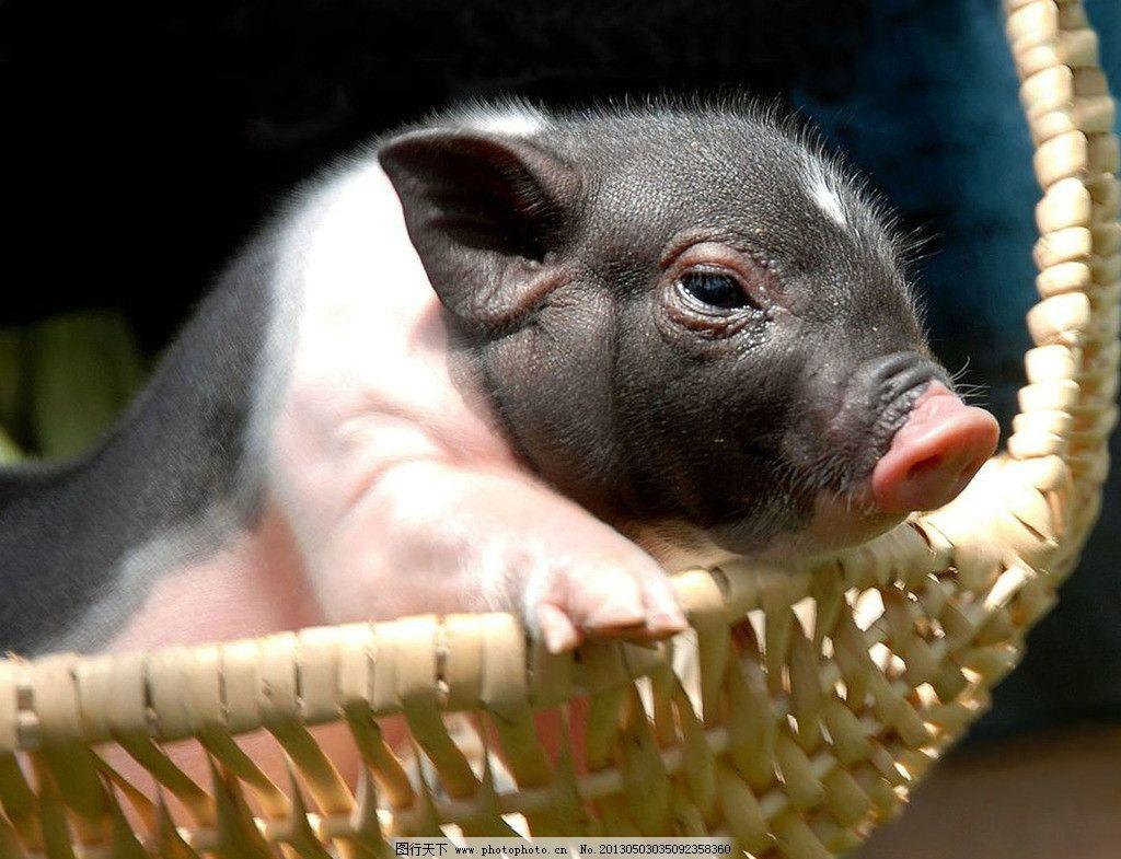 陆川猪 摄影 中国 名猪 可爱 小猪 野生动物 生物世界 300dpi jpg