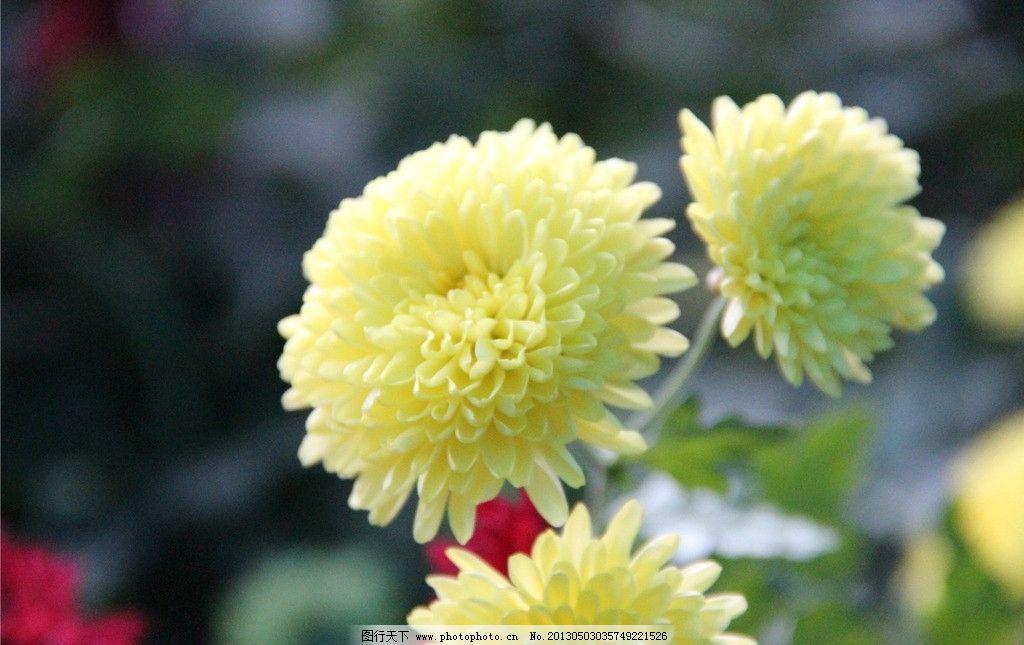 嫩黄色菊花 清晰 色彩 层次 情景 完整 光线 突出主题 花草