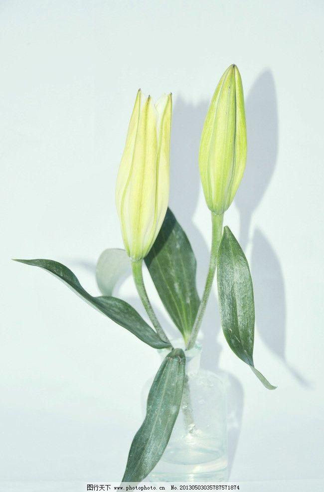 百合花 花朵 花骨朵 瓶中花 静物 瓶子 摄影