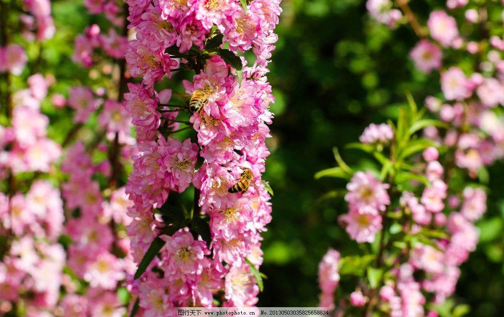 桃花 一枝花 花枝 春天 花园 园艺 晴天 阳光明媚 蜜蜂 树木树叶 生物