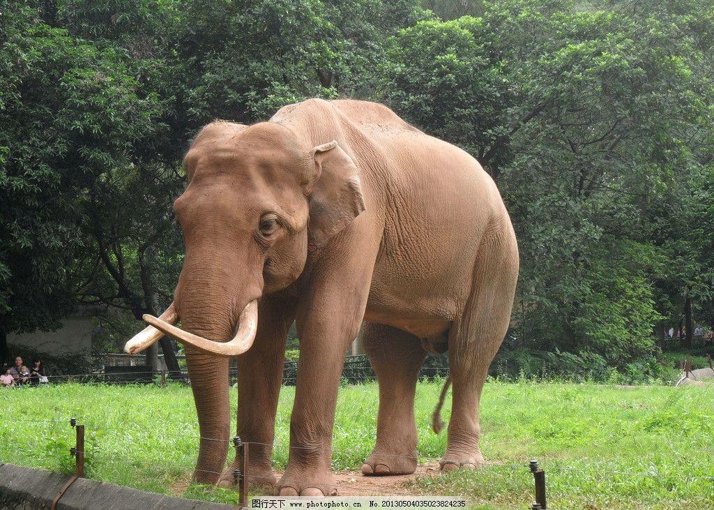 动物亚洲象图片