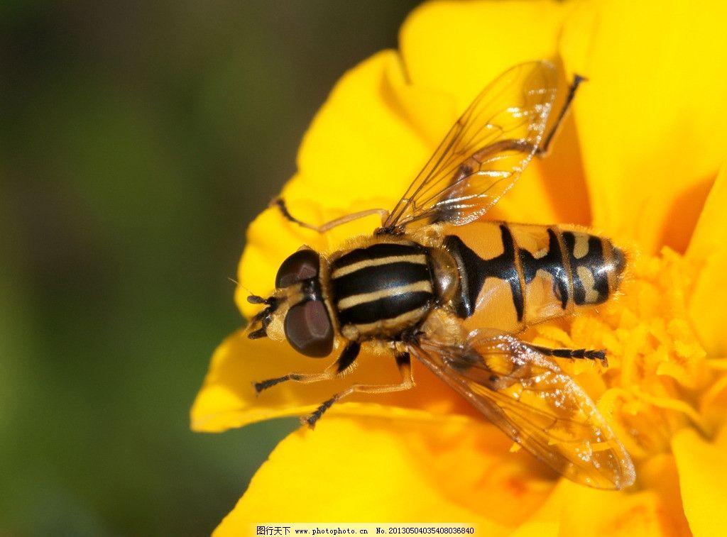 蜜蜂 动物 昆虫 花草 植物 花卉 花朵 采蜜 蜂蜜 生物世界 摄影 72dpi