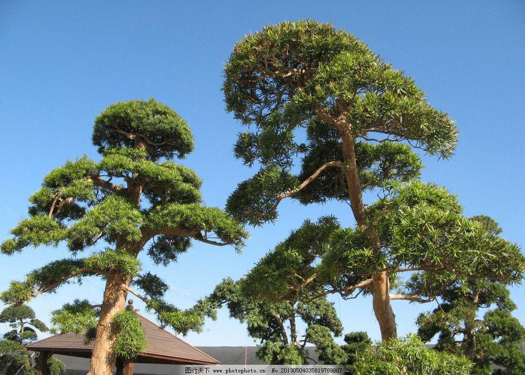 松树 上海 风景 风光 城市