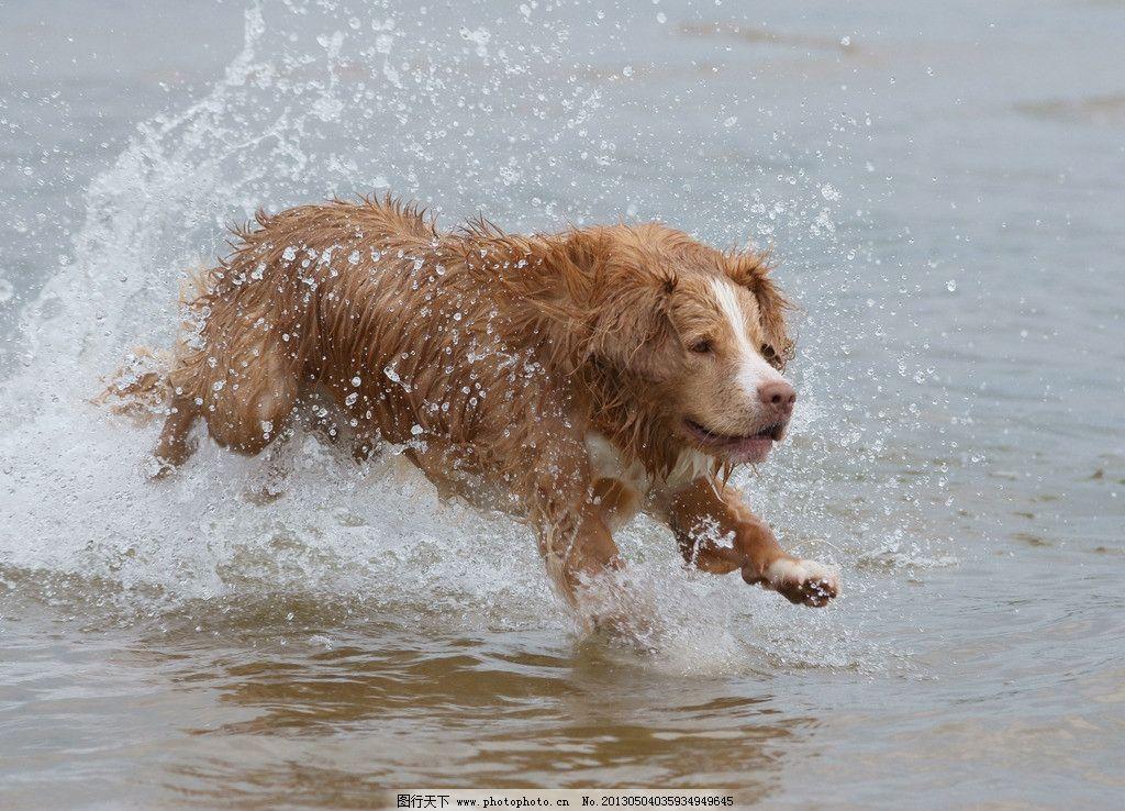狗狗图片,小狗 宠物 动物 哺乳动物 奔跑 嬉戏 沙滩